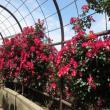 大野町バラ公園へのジェミニさんの投稿写真