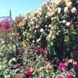 大野町バラ公園へのちょこさんの投稿写真