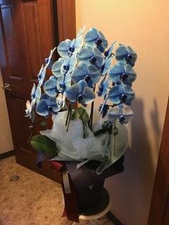 プランタン_開店、開業など様々なシーンで喜ばれる胡蝶蘭