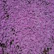 ヨゼさんの国田家の芝桜の写真1