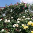 ヨゼさんの大野町バラ公園の写真2
