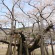 ヨゼさんによる根尾谷淡墨桜のクチコミ写真1