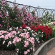 みずほのトヤマさんによる大野町バラ公園の写真