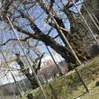 荘川桜への岐阜の食いしん坊担当さんの投稿写真