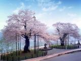 荘川桜の写真