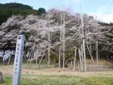 根尾谷淡墨桜の写真