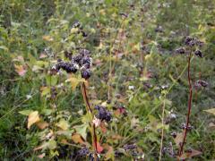 2008年10月24日|お蕎麦の実、収穫間近です。