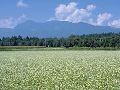 山々に囲まれた新庄盆地に広がる、大蔵村の蕎麦畑。
