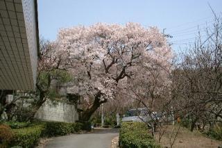 只今、彼岸桜が満開です♪