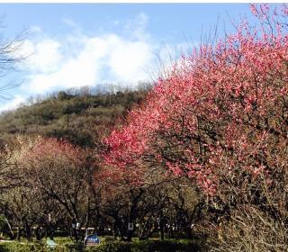 ぎふ梅林公園 梅の開花情報 『2分咲き』