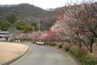 梅林公園 梅の開花状況 満開近し