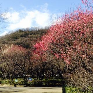 早咲きは ほぼ満開近し