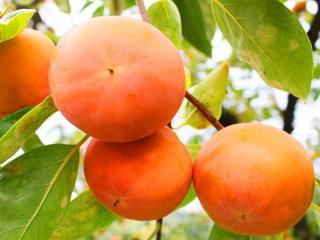 富有柿の特徴|ビタミンCが豊富で(みかんの約2倍)、タンニン、ビタミンK・B1・B2、カロチンなど多くの成分...