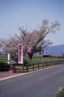 揖斐二度桜の写真