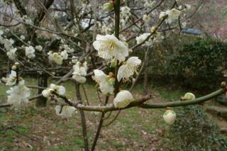 梅の開花状況と今月のサービスプラン!