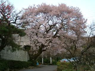 彼岸桜が満開です!