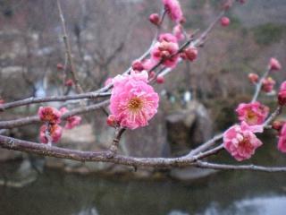梅の開花情報!  1分咲き(2月10日)