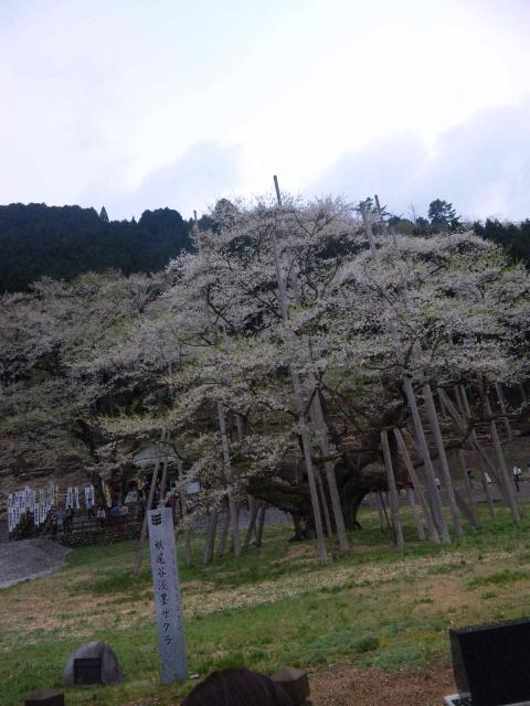 biwabiwaさんによる根尾谷淡墨桜のクチコミ写真