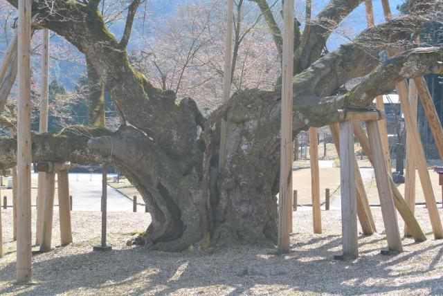 レッツなシニアさんによる根尾谷淡墨桜のクチコミ写真