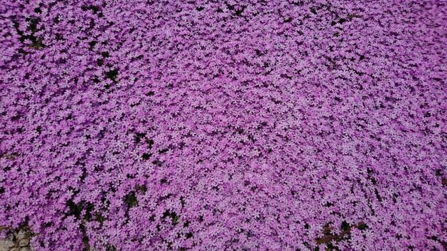 ヨゼさんによる国田家の芝桜のクチコミ写真